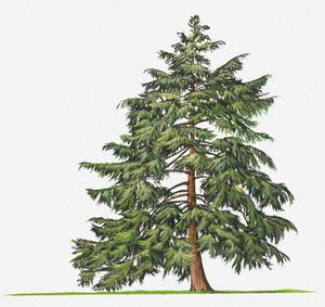 Illustrationofevergreentsugacanaden